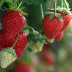 New collaboration to boost strawberry crop